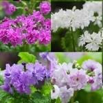 八重咲きサクラ草 3月下旬~4月下旬