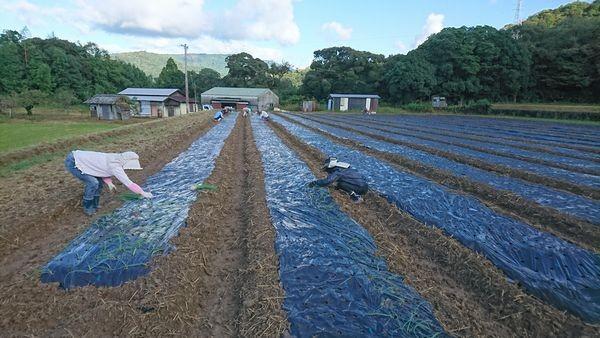 玉ねぎ、新玉ねぎの苗植え完了!