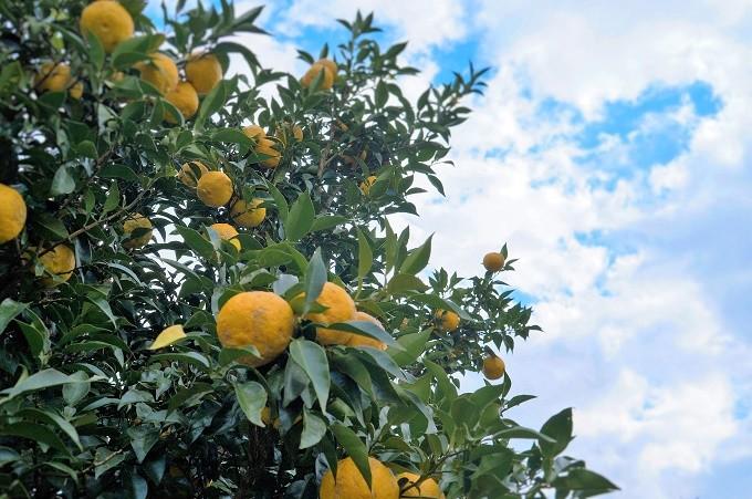 清流と土佐の太陽が育てる高知四万十の柚子