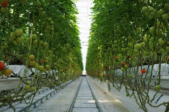 クリーンな環境で育つ四万十のトマト