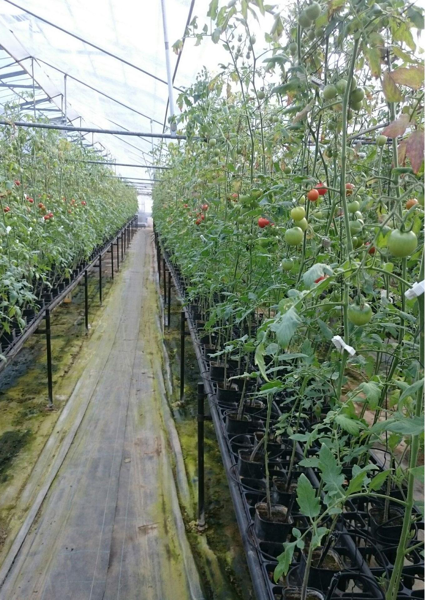 低段密植栽培(ていだんみっしょくさいばい)によって栽培をしております