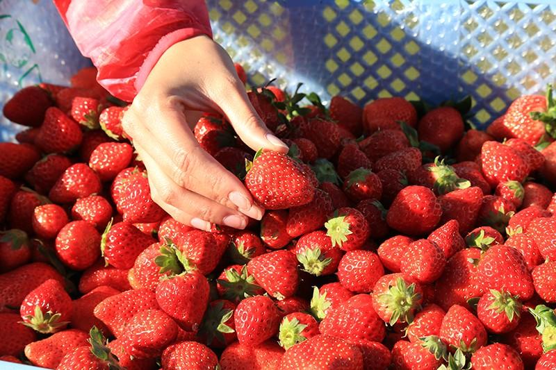 給水所では摘みたてイチゴ&フルーツトマトでビタミンチャージ!