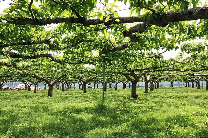 やぎさわ梨園の梨畑