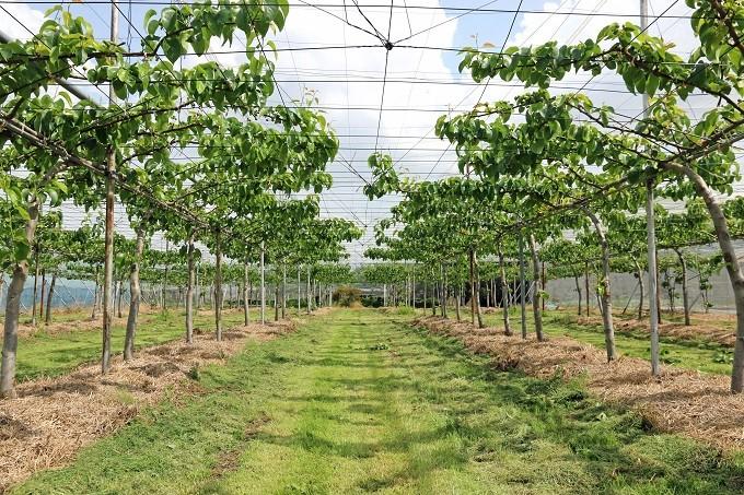 飯田農園の梨畑