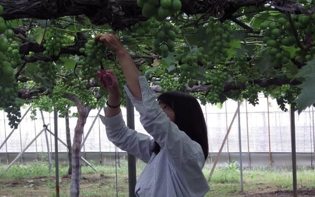 【収穫作業】旬な時期の最高のブドウを収穫し皆様にお届けいたします。