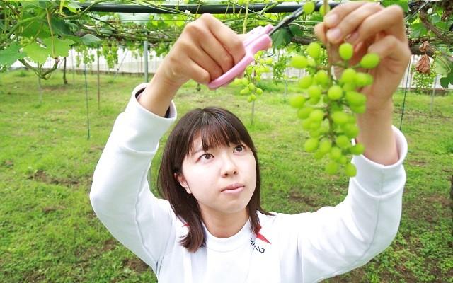 【剪定作業】ブドウ一粒を大きくするため、実が小さい時期に剪定します。