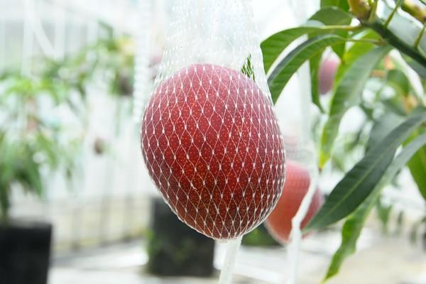 大きく、真っ赤に熟したマンゴー