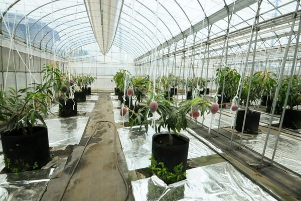 ボックス栽培で育つマンゴー