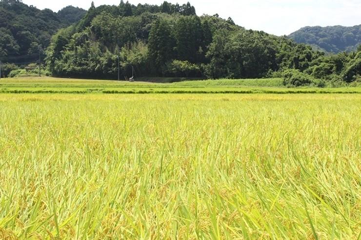 味噌作りに使用する米は自家栽培しています