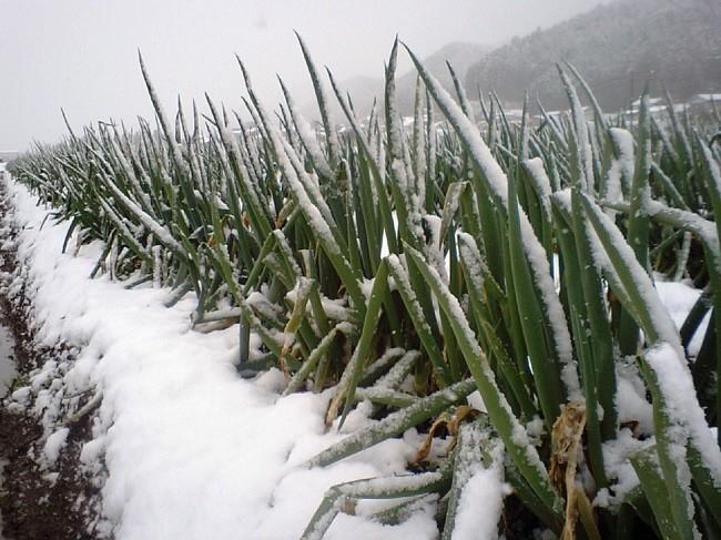 冬の冷え込みが厳しくなると甘さと柔らかさが一段と増します