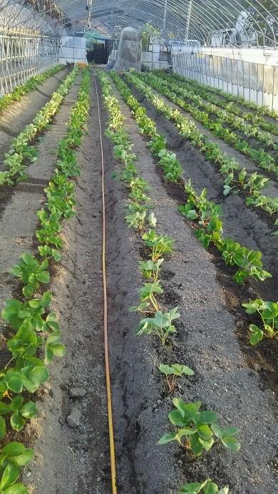苗を植え始めました!