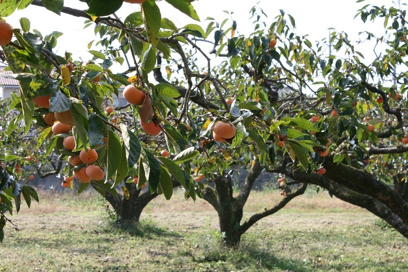 生産者の方からのメッセージ「天候にも負けず、おいしい柿が出来ました」