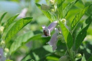 ごまの花はミツバチも大好物