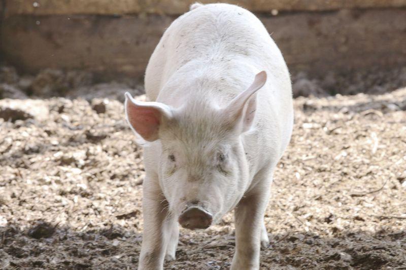 奈半利町に新しく誕生した【ゆず豚】