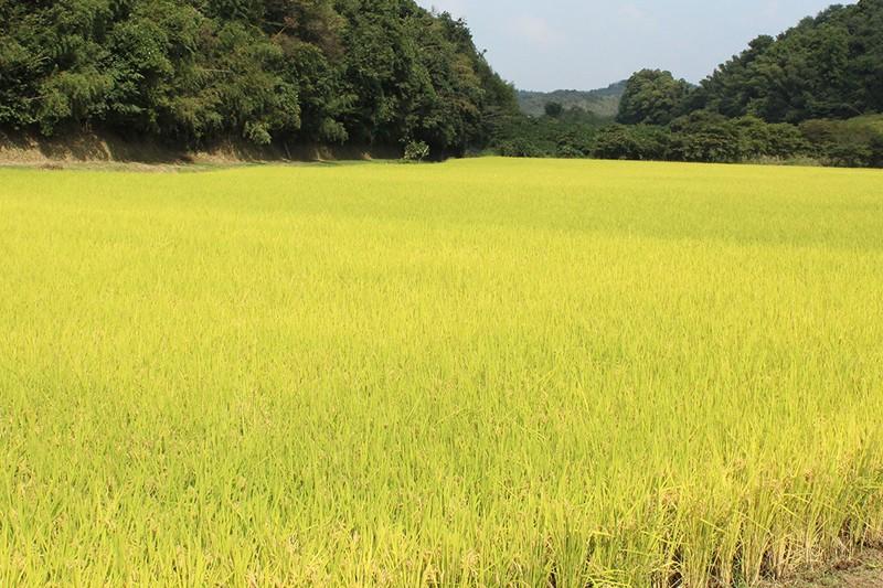 森の中に拓かれた広大な田んぼ。自然の恵みをたっぷり受けたお米です