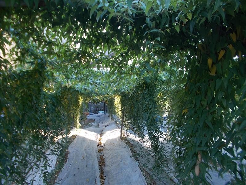 自然薯の栽培風景。日光を沢山あてることで美味しい自然薯になります♪
