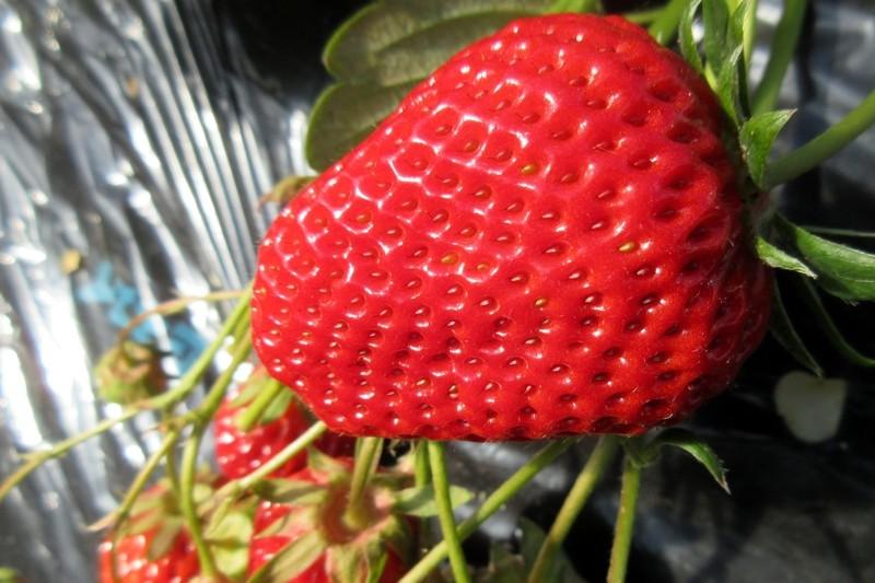 紅ほっぺです。甘味も酸味も程よくマッチしたおいしいイチゴ♪