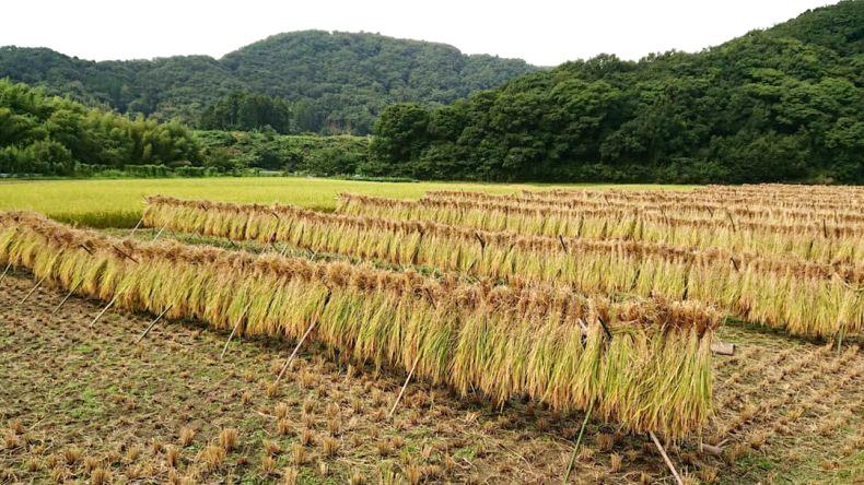 昔ながらの天日干しで作られたお米を是非ご賞味ください!
