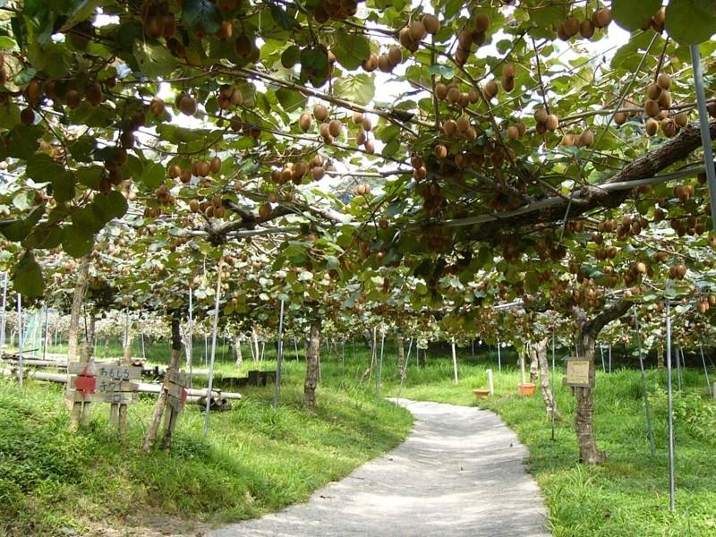 掛川市にあるキウイフルーツカントリーJAPANの農園風景です♪