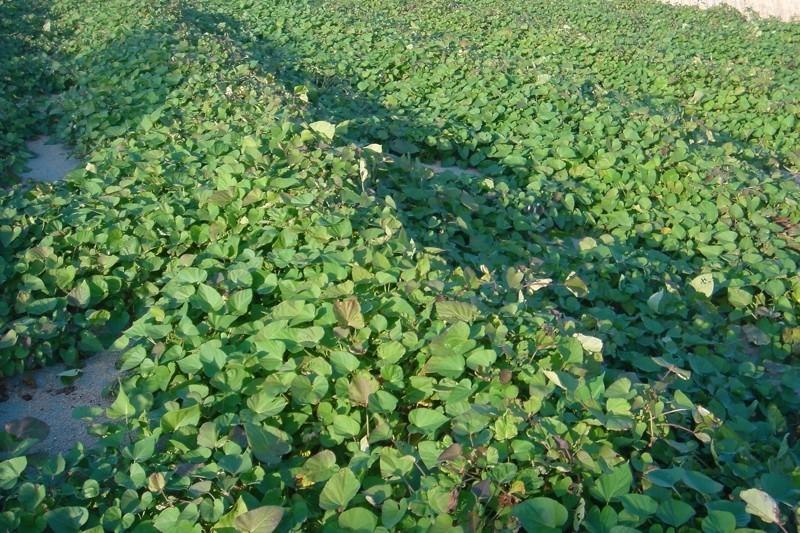 掛川にある自園のサツマイモ畑