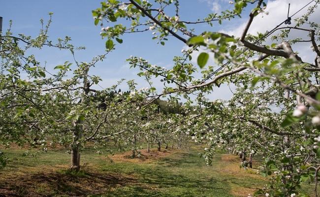 広大な敷地でりんごがたわわに実ります