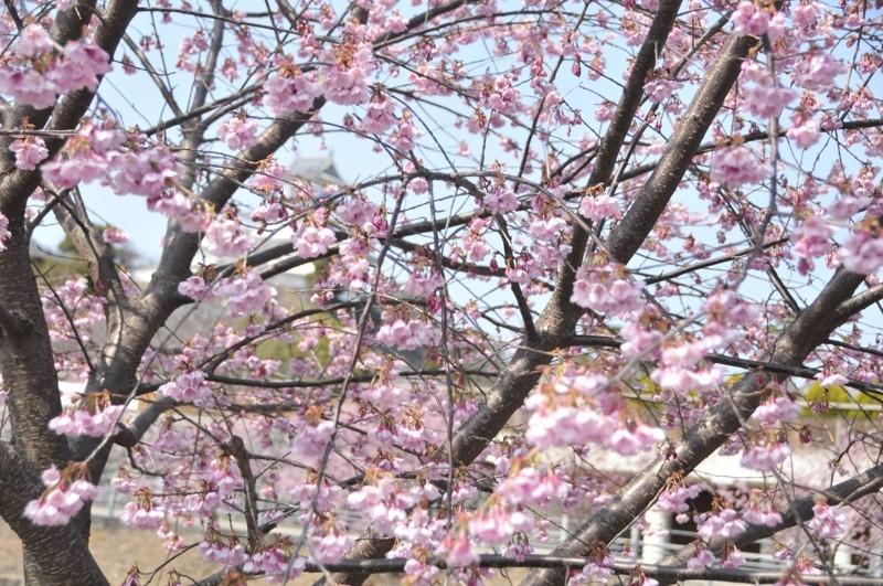 春、満開した掛川桜