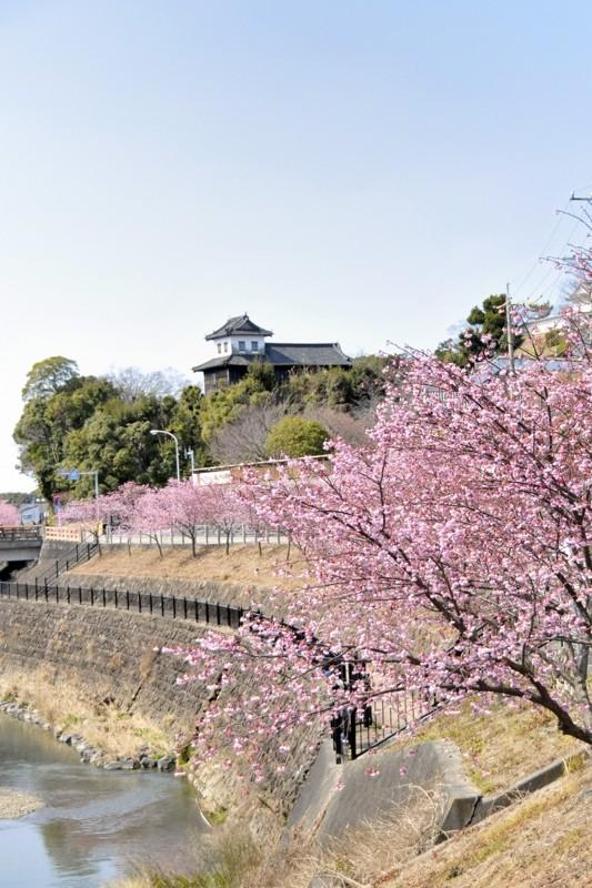 逆川(さかがわ)と掛川桜
