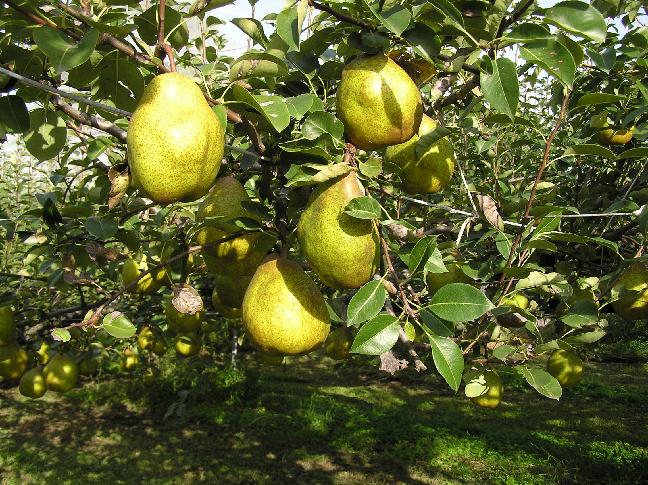 冬が旬の『シルバーベル』。木の上で半年余りを過ごします♪