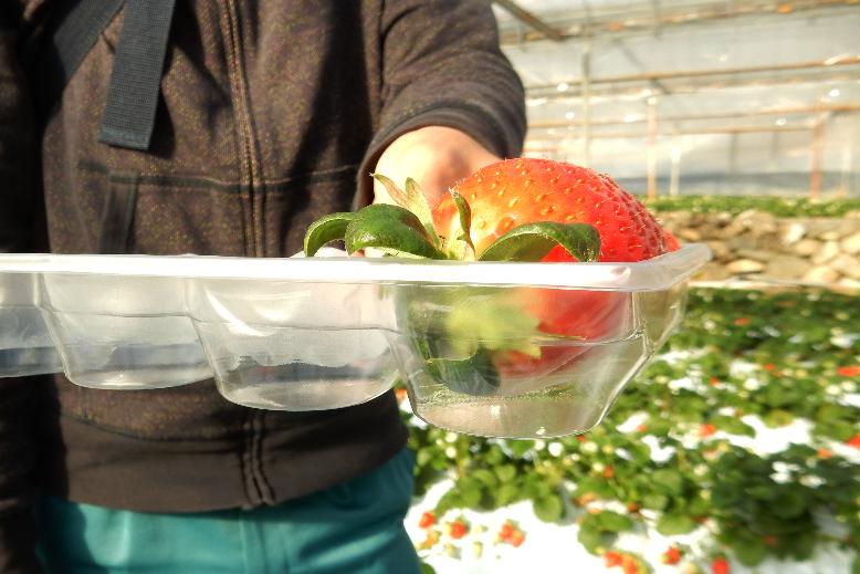 見えますか?浮いてます!傷みの少ないイチゴをお届けできる秘密です!