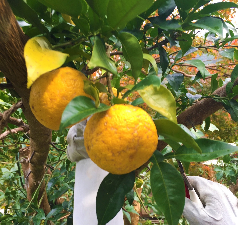 家の畑にたわわに実る農薬不使用の柚子