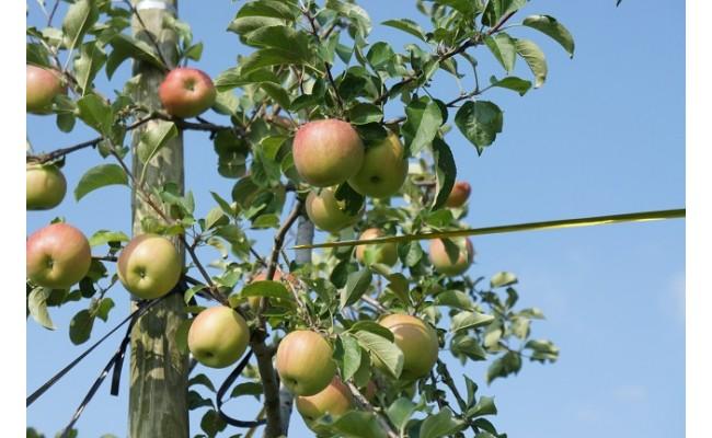 太陽の光をいっぱい受けて育ったリンゴ