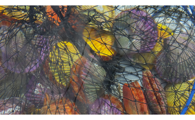 網に入ったひおうぎ貝