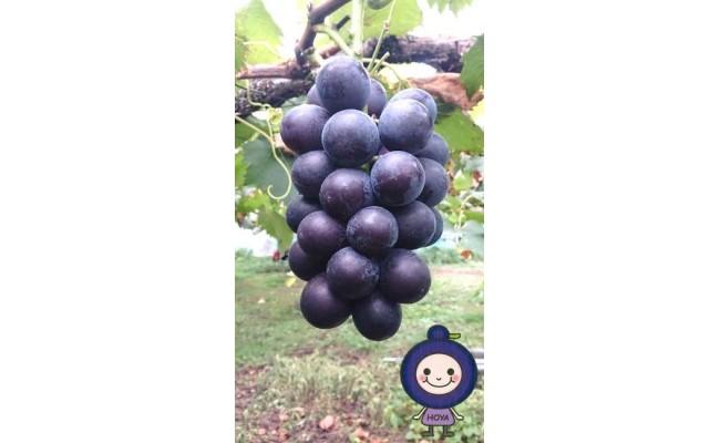 ぶどう(藤稔)と保谷葡萄のキャラクター「ほーやおじょう」