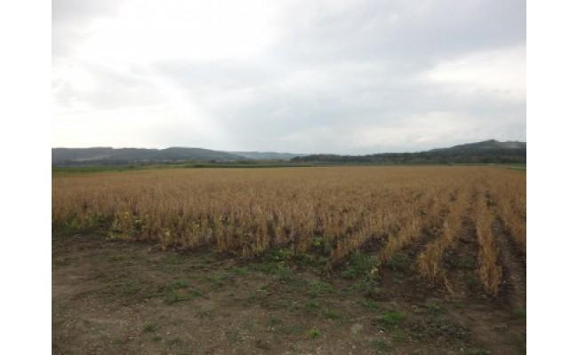 収穫を控えた小豆畑