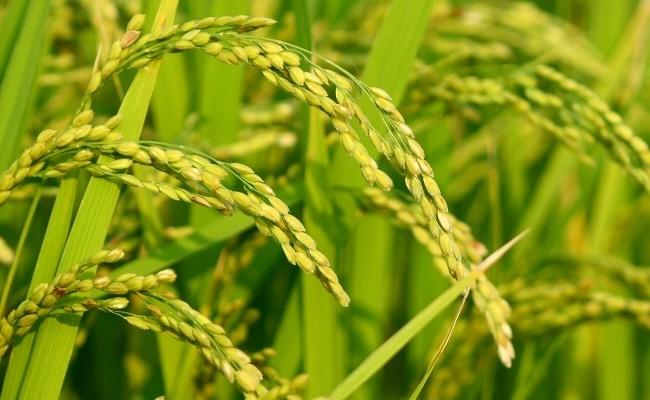 水資源が豊富な下妻の大地ですくすく育ったおいしいお米です。