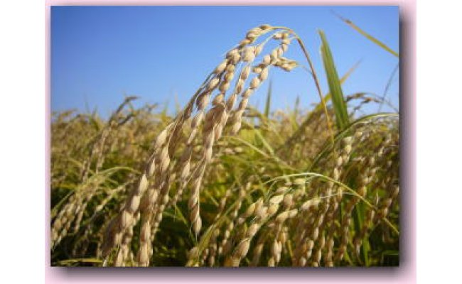 北上市の北上川下流域は豊かな土壌で米どころ。農業用水は豪雪とブナ林で知られる和賀山塊から湯田ダムを経て田んぼへ注ぎます