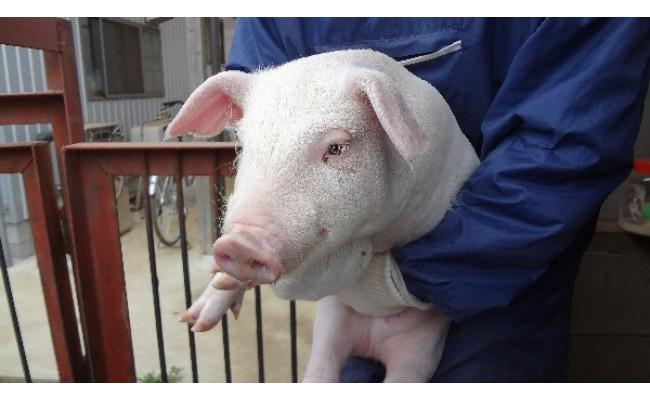 厳しく選別・指定された生産農家が、やわらかく風味がある肉にするため、ローズポーク専用飼料で愛情込めて育てています。