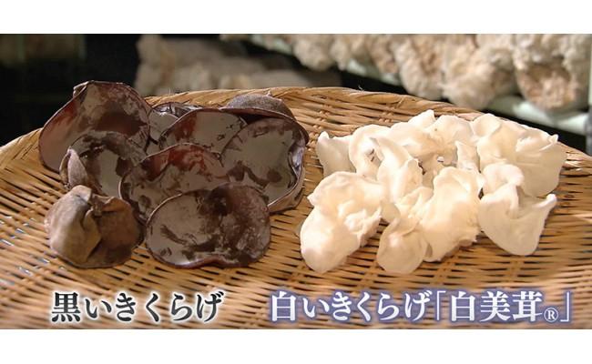 白いきくらげ「白美茸」はとても貴重。佐賀県唐津市で、農薬を一切使用せず栽培しています。