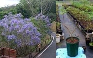BB7 日南市の花木 ジャカランダの苗木(L)