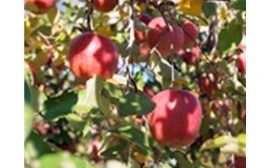 りんごCA-4 ふじりんご
