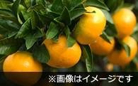 BAU026 【平成30年分受付開始!】温州みかん【数量限定!】