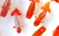 [№4631-0705]金魚「日本オランダ獅子頭 」A
