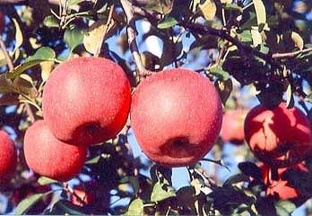 下條産『りんご ふじ5kg』