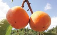 A116 西村早生柿
