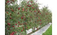 H-2 りんご一枝オーナー収穫体験ツアー