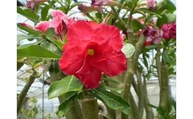 21_幻の八重咲き「天空のバラ」と季節の鉢花セット[2018]