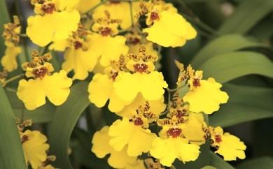 """[結-5]花の日持ちが長いと喜ばれる 島原の""""蘭"""" オンシジューム"""