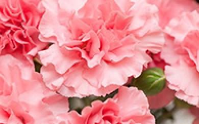 AM15【期間限定】 カーネーション5号 1鉢 ピンク系【14p】