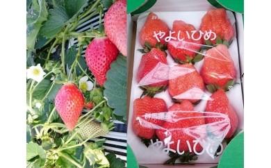 【15A050】 永井農園のいちご(やよいひめ)【限定60セット】