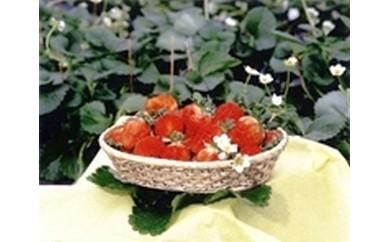 9 球磨産 イチゴ
